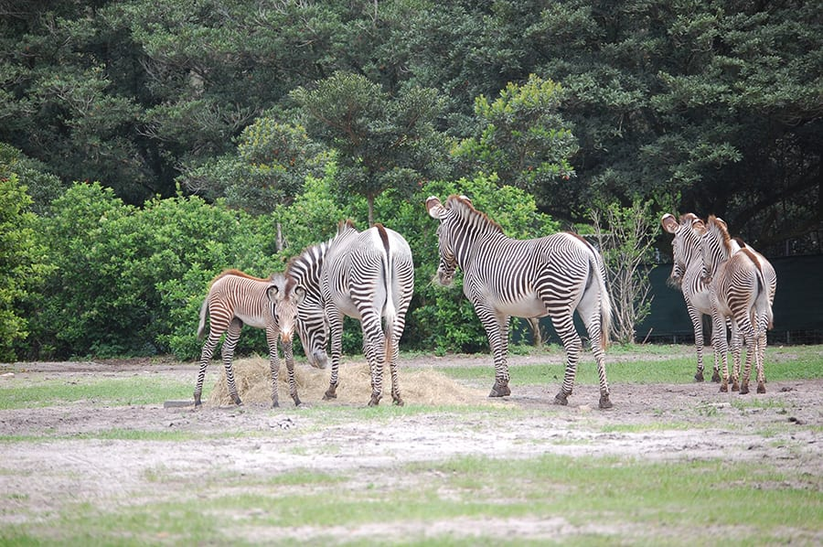 Zach spends time with the Grevy's zebra herd at Disney's Animal Kingdom.