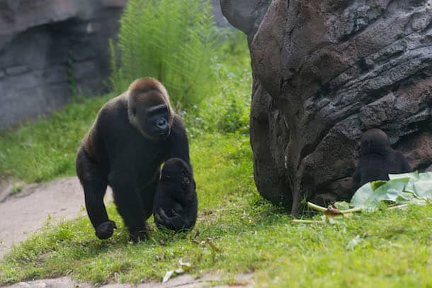 Wildlife Wednesday: Disney Helps 'Reverse the Decline' of Great Apes