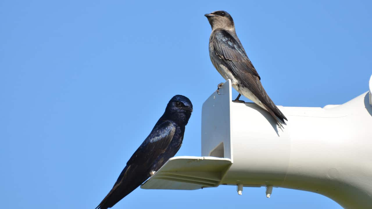Wildlife Wednesday: We're Learning So Much About Purple Martins!