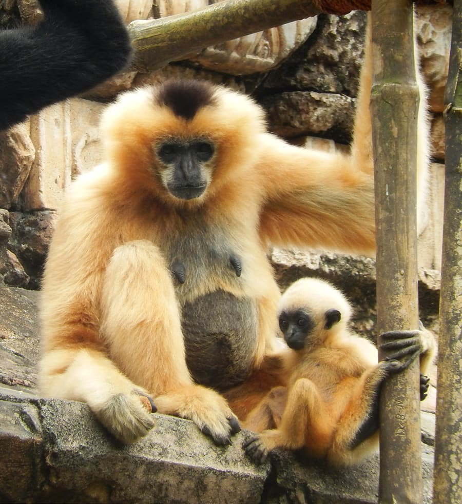 Wildlife Wednesday: Meet Harper, One of the Gibbons at Disney's Animal Kingdom