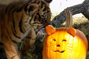 Pumpkins Add Spice to Animal Enrichment Fun at Disney's Animal Kingdom