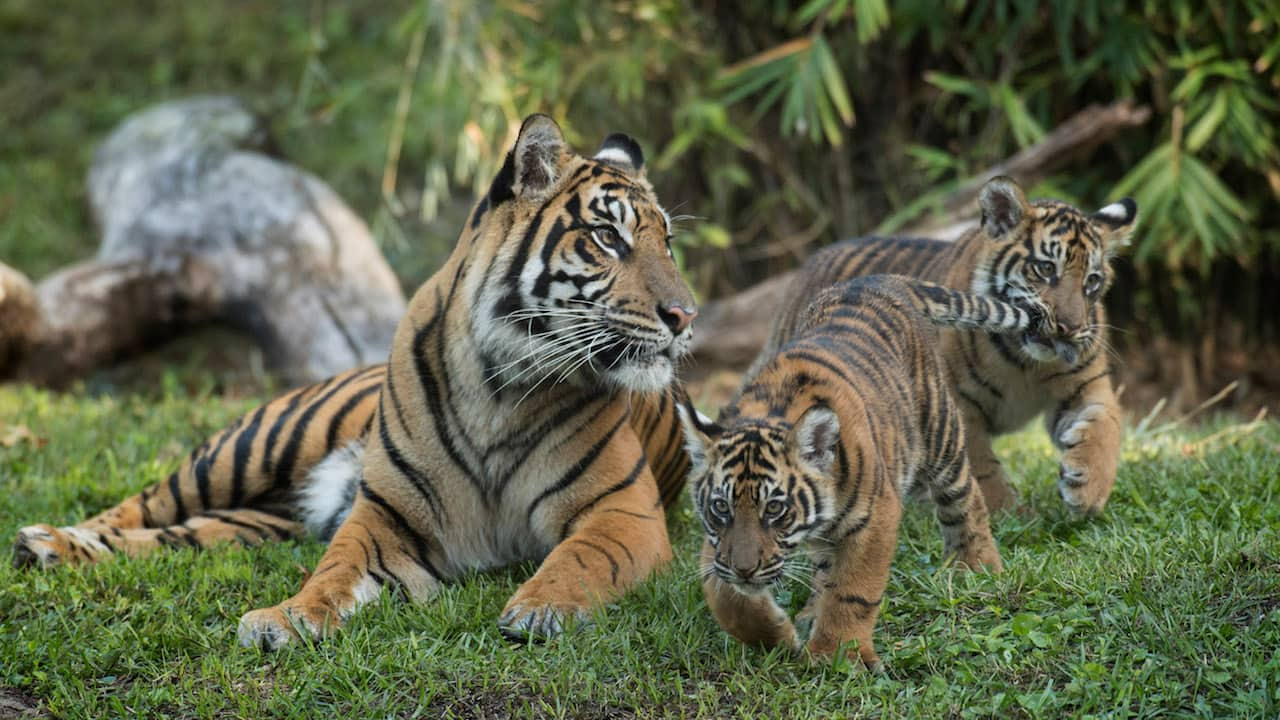 Wildlife Wednesday: Critically Endangered Sumatran Tiger Cubs Arrive at Maharajah Jungle Trek | Disney Parks Blog