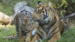 Sumatran tiger cubs at Disney's Animal Kingdom