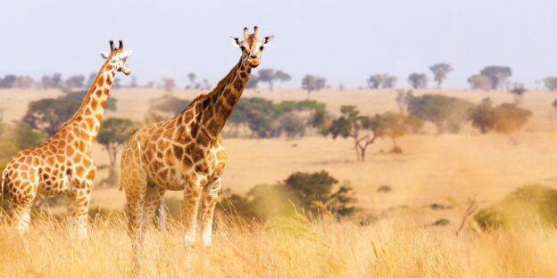 Giraffes in South Africa with Adventures by Disney