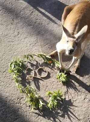 Kangaroo at Disney's Animal Kingdom Celebrates 20 Years