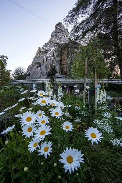 Matterhorn through the flowers, Disneyland park