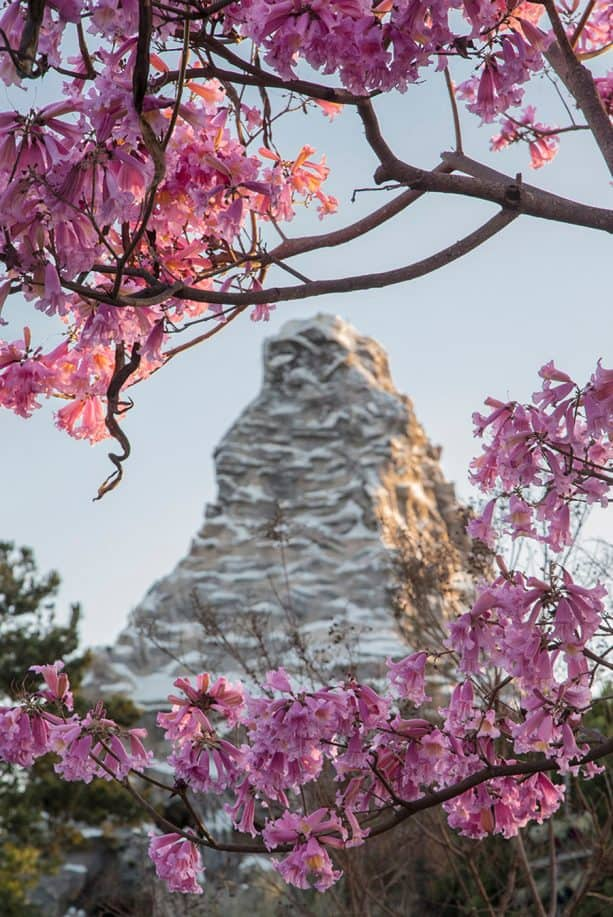Tabebuia Impetiginosa tree blossoms with the Matterhorn in the background at Disneyland park