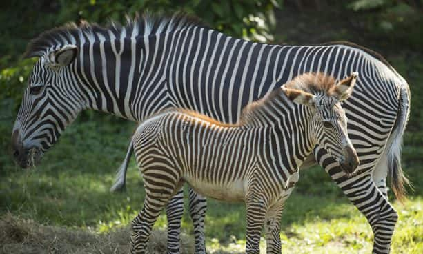 Mother Zebra Laylee and her foal Youka, at Disney's Animal Kingdom
