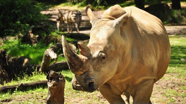 Get 'Up Close with Rhinos'