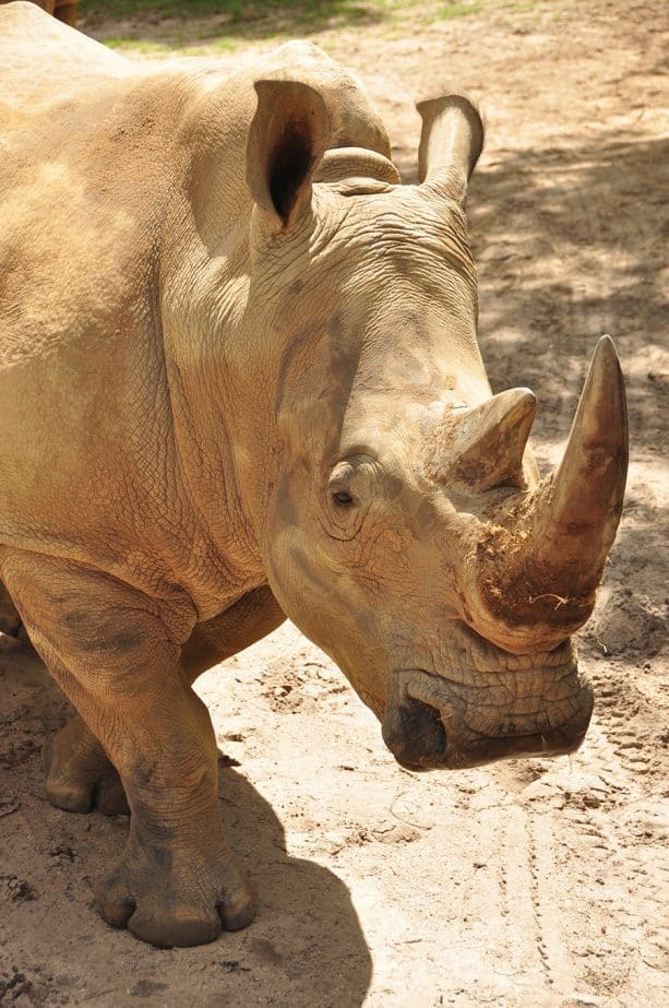 Up Close with Rhinos at Disney's Animals Kingdom
