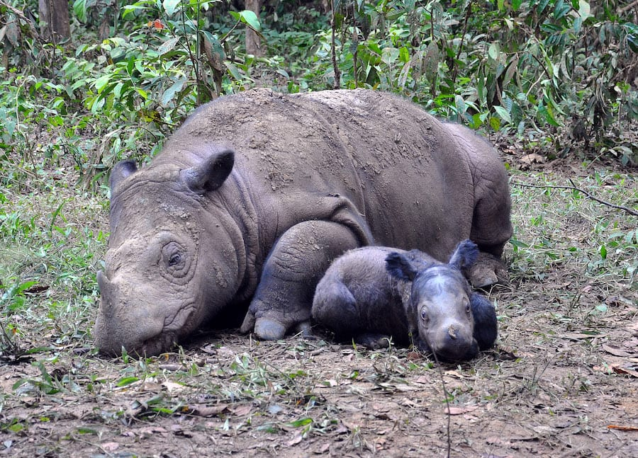 Mother and Baby Rhino at the Sumatran Rhino Sanctuary