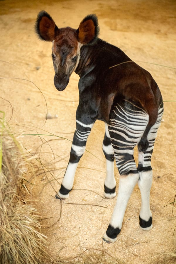 Baby Okapi at Disney's Animal Kingdom park