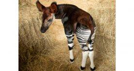 Baby Okapi at Disney's Animal Kingdom park