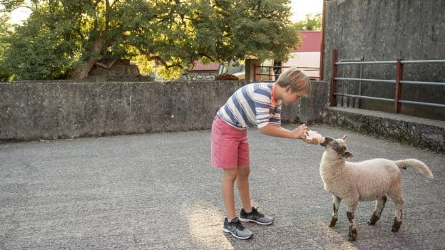 Boy Feeds Baby Goat on an Irish farm