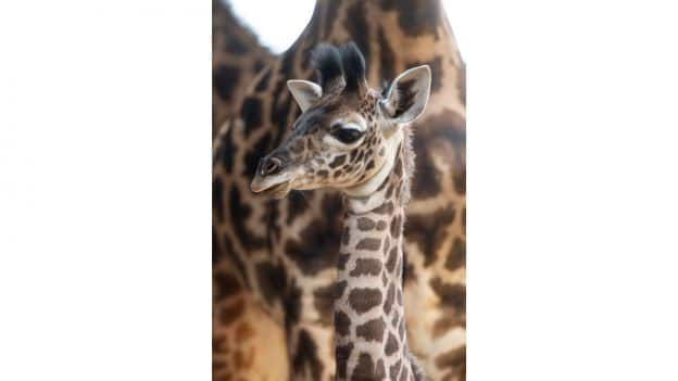 Baby Giraffe at Disney's Animal Kingdom