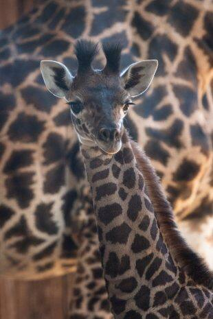 Baby Giraffe at Disney's Animal Kingdom