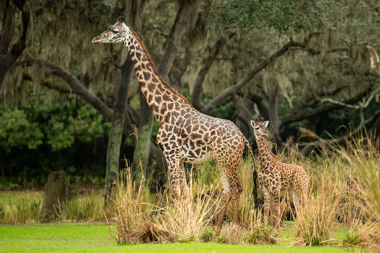 Amira, the Newest Giraffe Calf at Disney's Animal Kingdom