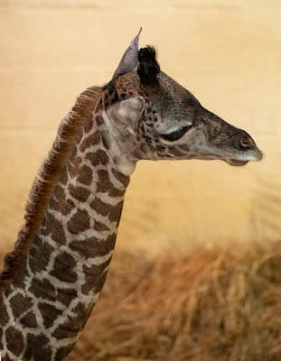 New Masai Giraffe Calf Born at Disney's Animal Kingdom