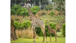 Celebrate Jabari's Arrival at Disney's Animal Kingdom