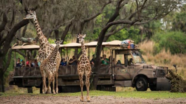 Wildlife Wednesday: Jabari the Giraffe Calf Joins the Herd at Disney's Animal Kingdom