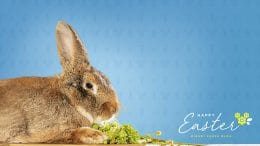 Fezzik the Flemish Giant rabbit Wallpaper