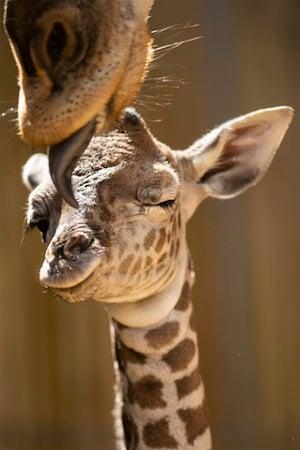 Unnamed Giraffe and Mother Stephanie at Disney's Animal Kindgom