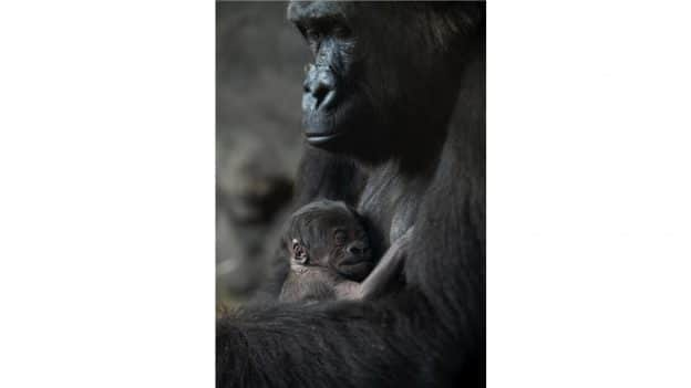 New Baby Gorilla at Disney's Animal Kingdom