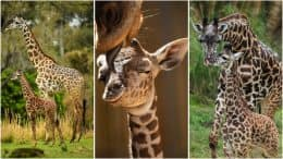 Masai giraffe calves and their mothers at Disney's Animal Kingdom