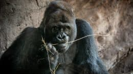 Gino, the adult male leader of our family troop of western lowland gorillas at Disney's Animal Kingdom