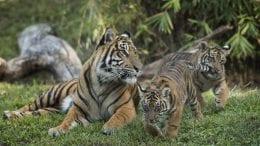 Sumatran tiger cubs, Jeda and Anala at Disney's Animal Kingdom