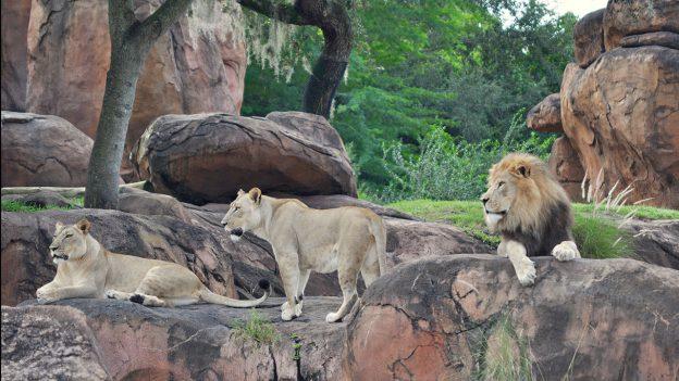 Lions at Disney's Animal Kingdom