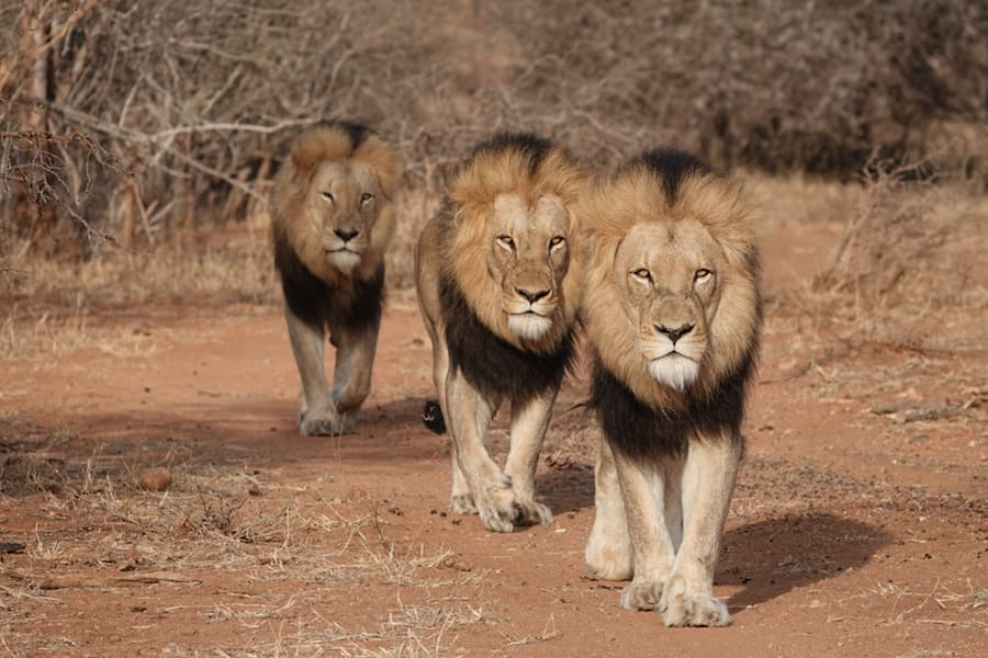 Three male lions in Africa