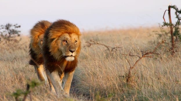Lions; Photo Credit: Peter Lindsey