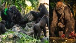 Gorillas at Disney's Animal Kingdom