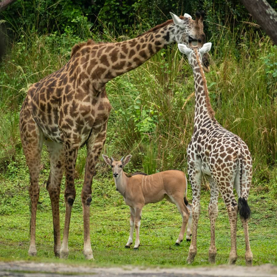 Young eland Doppler meets giraffes on the Kilimanjaro Safaris savanna at Disney's Animal Kingdom Park