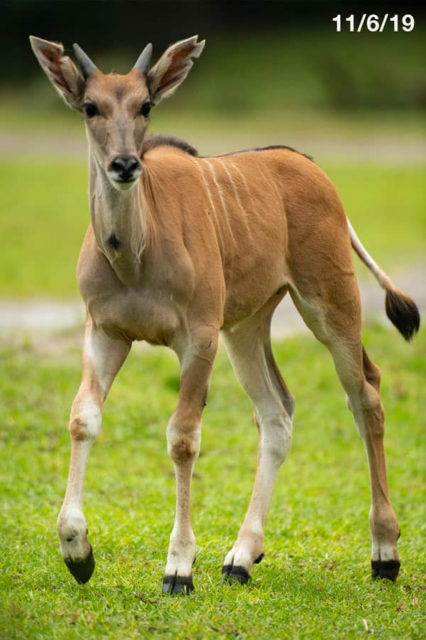 Young eland named Doppler at Disney's Animal Kingdom Park - photographed on 11/6/19