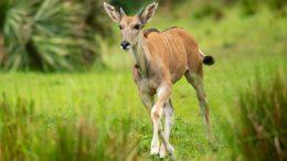 Young eland, Doppler, makes his debut onto the Kilimanjaro Safaris savanna at Disney's Animal Kingdom Park