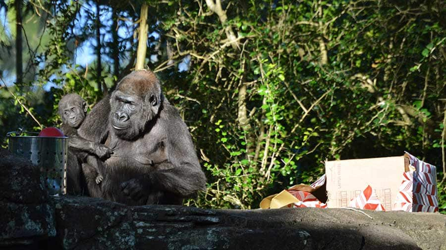 Western lowland gorillas at Disney's Animal Kingdom