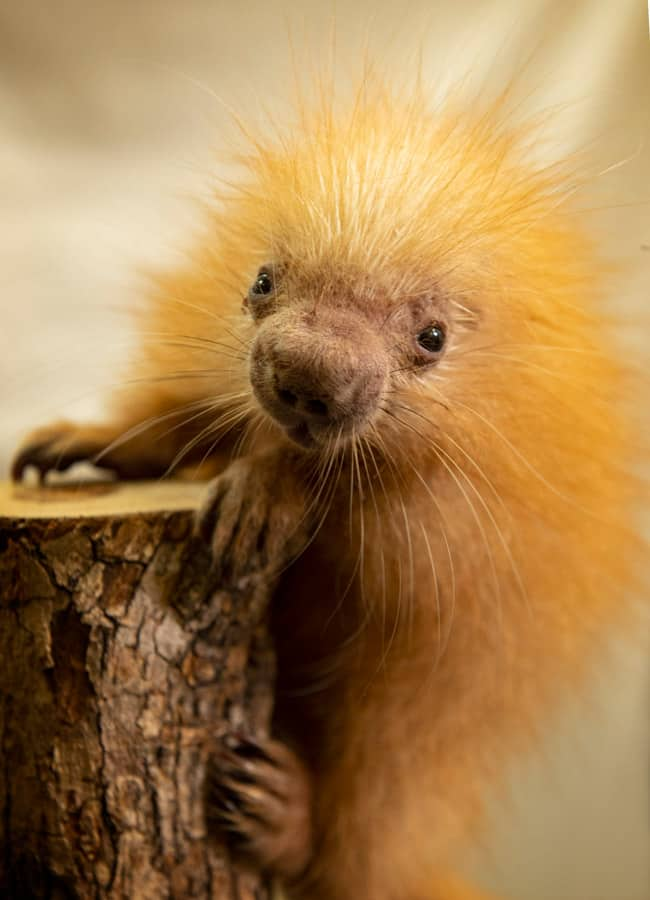 Disney's Animal Kingdom Welcomes Baby Porcupine