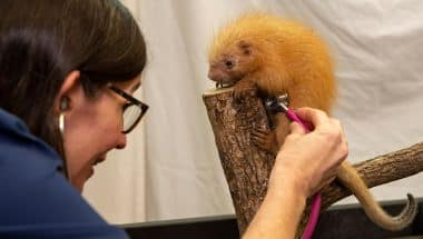 Disney veterinarian Dr. Natalie examines the newest addition to Disney's Animal Kingdom, a baby prehensile tailed porcupine.