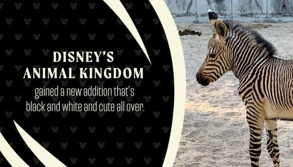Disney's Animal Kingdom gained a new addition that's black and white and cute all over.