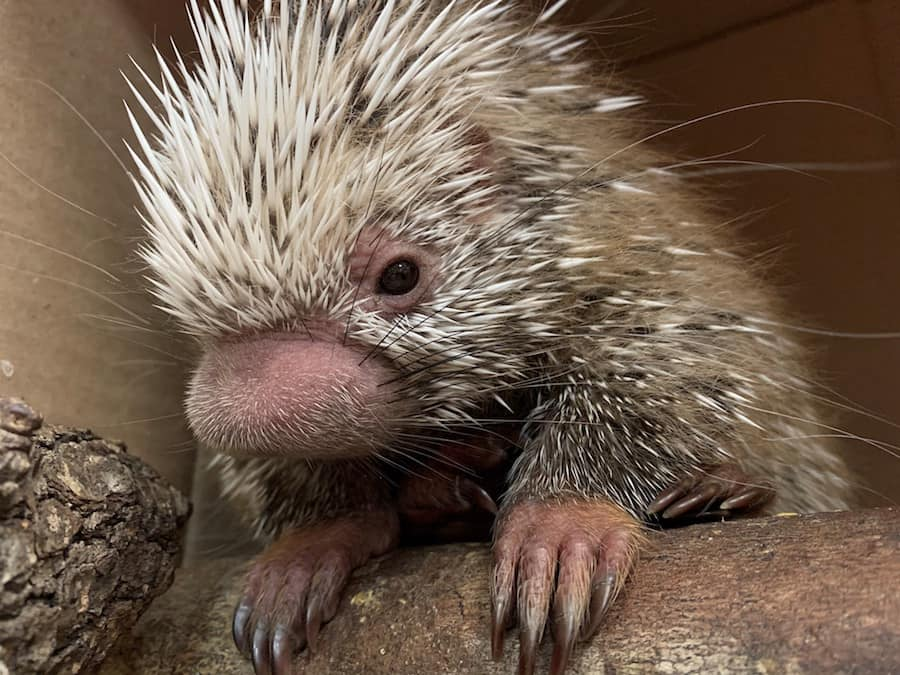 Shelly the Porcupette