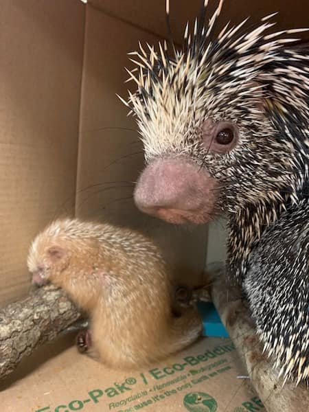 Shelly the Porcupette and her mom Peri