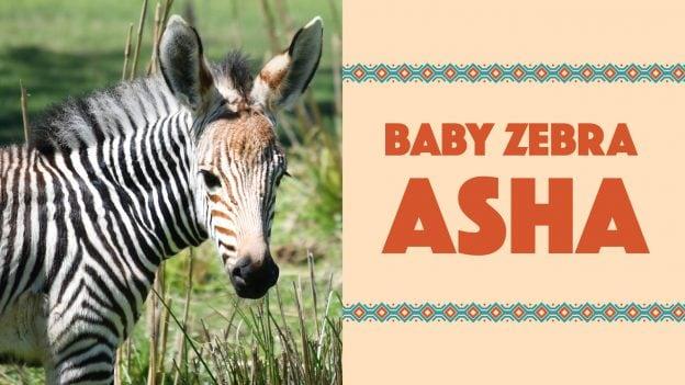 Asha, a Hartmann's Mountain Zebra Foal at Disney's Animal Kingdom Theme Park