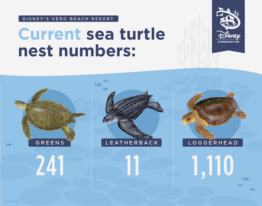 Graphic of current turtle nest numbers