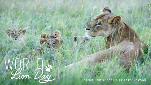 Celebrate World Lion Day graphic