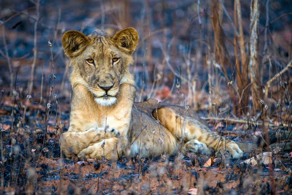 Photo of a Lion by Susan McConnell