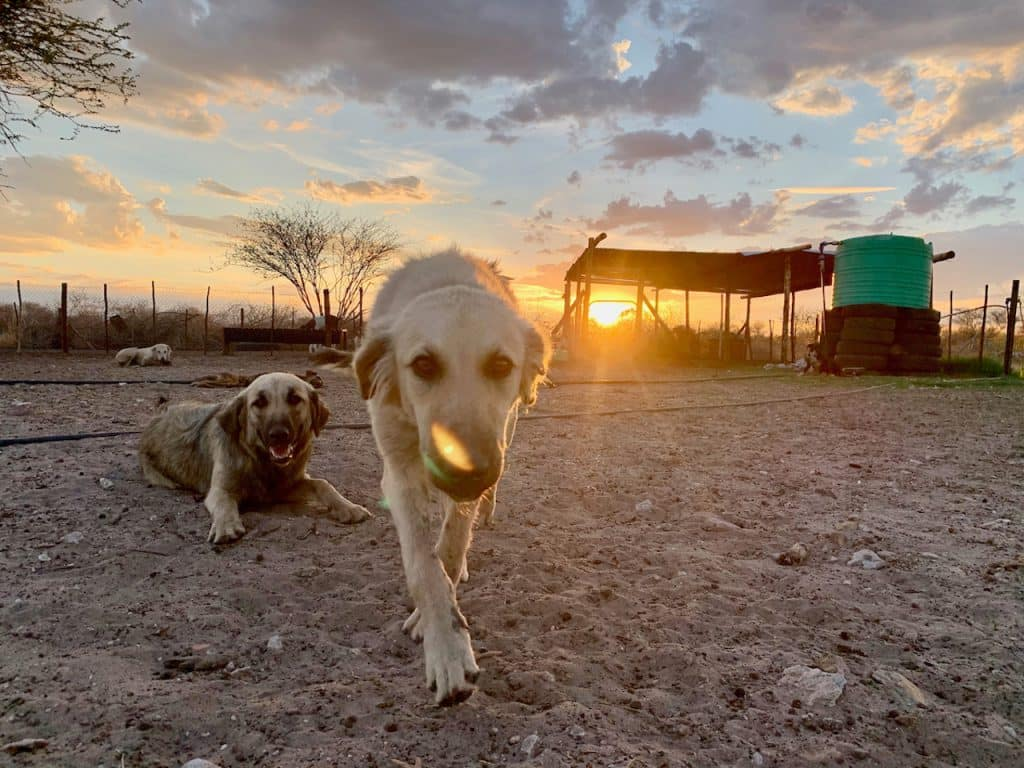 photo of livestock guarding dogs by Cheetah Conservation Botswana