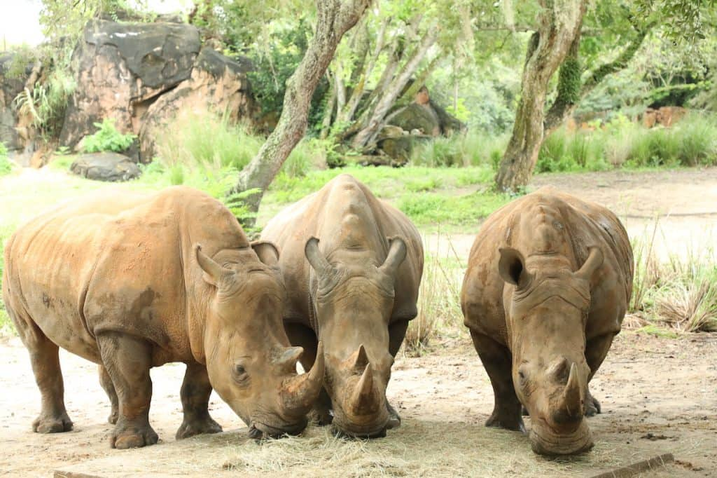 Rhino Lola, Jao & Kiama of Disney's Animal Kingdom
