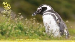 Penguin - Disney Conservation Fund - Image Courtesy of the Global Penguin Society